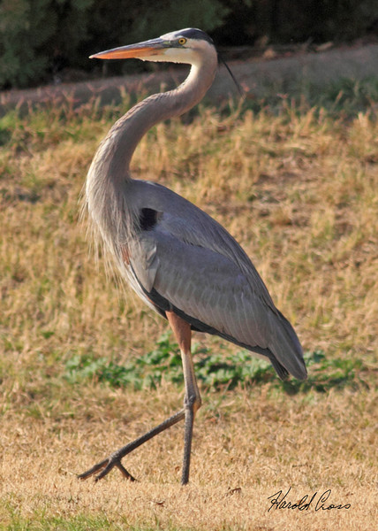 A Great Blue Heron taken Jan 27, 2010 in Phoenix, AZ.