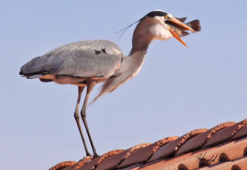 A Great Blue Heron taken Jan 30, 2010 in Phoenix, AZ.