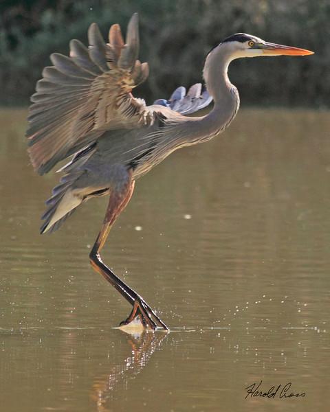 A Great Blue Heron taken Feb 17, 2010 in Gilbert, AZ.