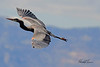 A Great Blue Heron taken Mar. 23, 2011 near Fruita, CO.
