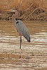 A Great Blue Heron taken April 13, 2011 near Fruita, CO.