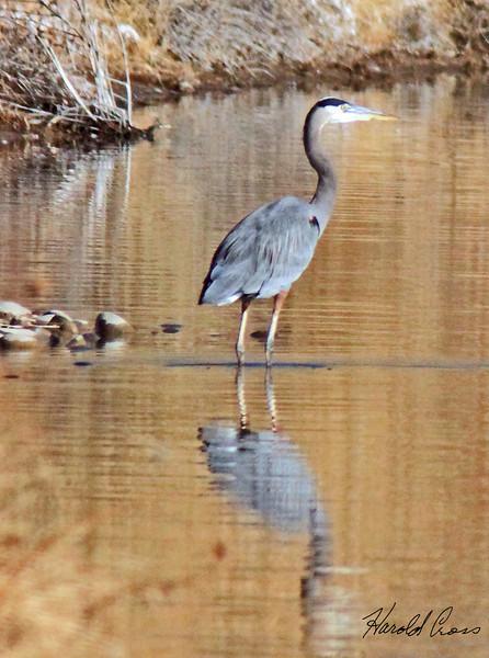 Great Blue Heron taken in Fruita, CO in Dec 2009.
