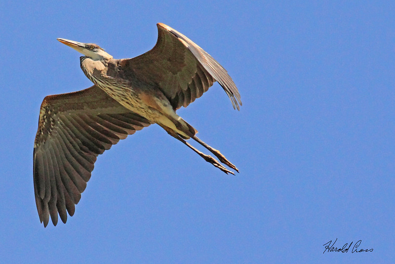 A Great Blue Heron taken Aug 9, 2010 near Denver, CO.