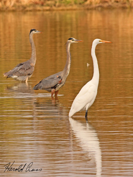 A pair of Great Blue Herons with a Great Egret taken Feb 10, 2010 in Gilbert, AZ.