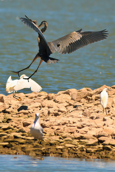A Great Blue Heron with a Snowy Egret and gull taken July 21, 2011 near Las Cruces, NM.