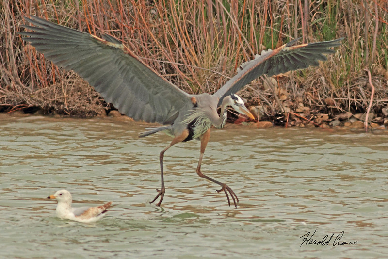 A Great Blue Heron and a Herring Gull taken April 20, 2011 near Fruita, CO.
