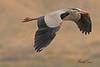 A Great Blue Heron taken April 13, 2011 near Fruita, CO.