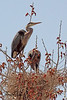 Great Blue Herons taken April 15, 2011 near Fruita, CO.