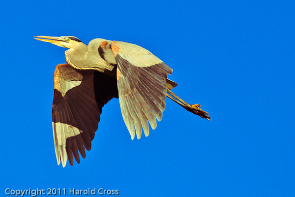 A Great Blue Heron taken Nov. 29, 2011 near Fruita, CO.