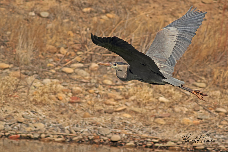 A Great Blue Heron taken Mar. 23, 2011 near Fruita, CO.