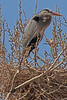 A Great Blue Heron  taken Mar. 15, 2011 in Fruita, CO.