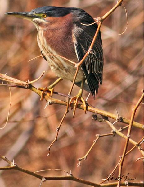 A Green Heron taken Feb 11, 2010 in Gilbert, AZ.