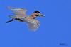 A Green Heron  taken Aug 19, 2010 near Grand Junction, CO.
