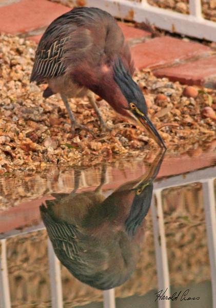 A Green Heron taken Jan 25, 2010 in Phoenix, AZ.