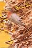 A Green Heron taken July 21, 2011 near Soccorro, NM.