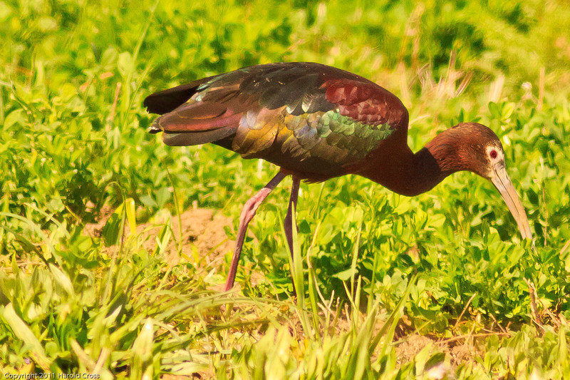 A White-faced Ibis taken April 28, 2011 near Fruita, CO.