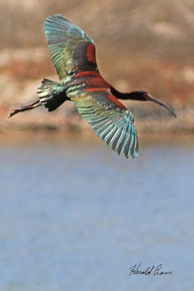 A White-faced Ibis taken May 4, 2011 in Grand Junction, CO.