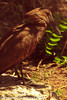 A Hamerkop taken July 19, 2012 in Albuquerque, NM.