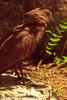 A Hamerkop taken July 19, 2012 in Albuquerque, NM.