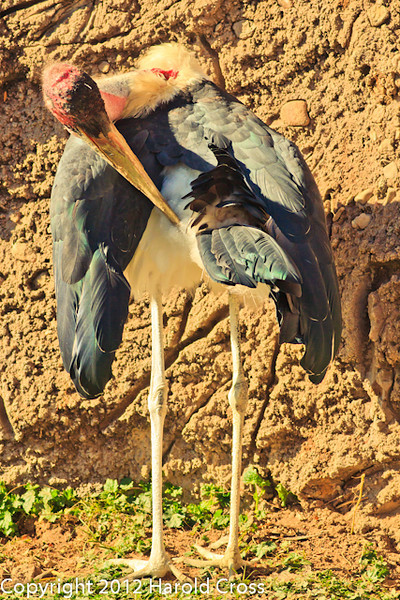 A Marabou Stork taken Feb. 22, 2012 in Tucson, AZ.