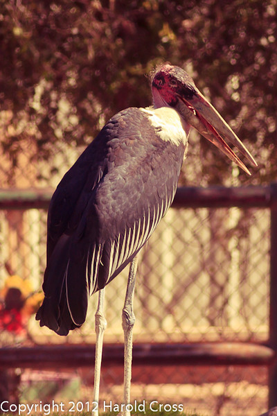 A Marabou Stork taken Feb. 21, 2012 in Tucson, AZ.