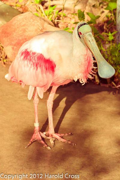 A Roseate Spoonbill taken Feb. 22, 2012 in Tucson, AZ.