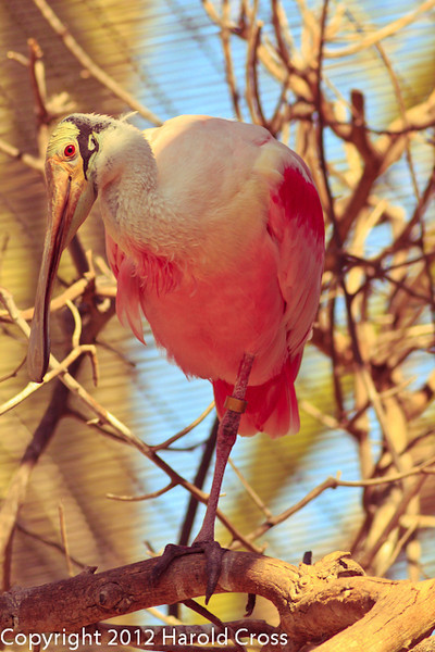 A Roseate Spoonbill taken Feb. 20, 2012 in Tucson, AZ.