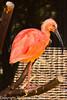 A Scarlet Ibis taken Jun. 20, 2012 in Eureka, CA.