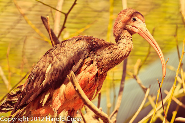 A Scarlet Ibis taken Feb. 20, 2012 in Tucson, AZ.