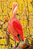 A Scarlet Ibis taken Feb. 25, 2012 in Tucson, AZ.
