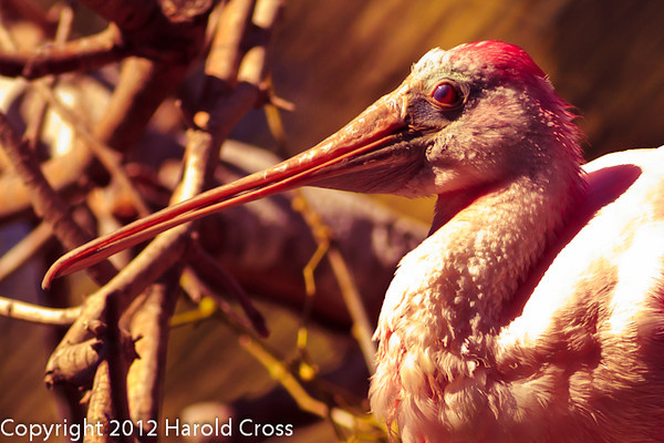 A Scarlet Ibis taken Feb. 25, 2012 in Tucson, AZ.