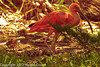 A Scarlet Ibis taken July 19, 2012 in Albuquerque, NM.