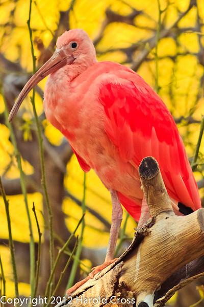 A Scarlet Ibis taken Feb. 22, 2012 in Tucson, AZ.
