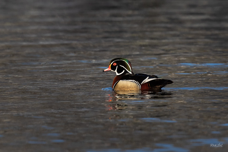 Wood Duck_43A6406