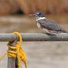 A Belted Kingfisher taken May 29, 2010 near West Yellowstone, MT.