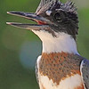 A Belted Kingfisher taken Aug 23, 2010 near Fruita, CO.