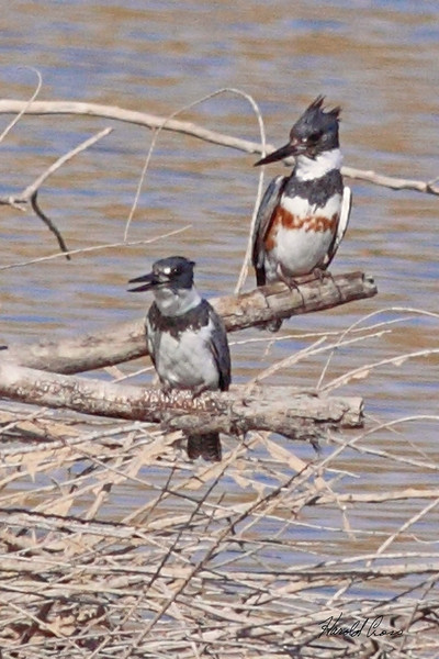 A  pair of Belted Kingfishers taken Mar 10, 2010 in Grand Junction, CO.