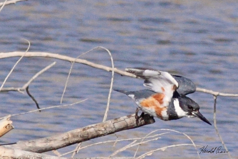 A Belted Kingfisher taken Mar 10, 2010 in Grand Junction, CO.