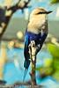 A Blue-bellied Roller taken Feb. 25, 2012 in Tucson, AZ.