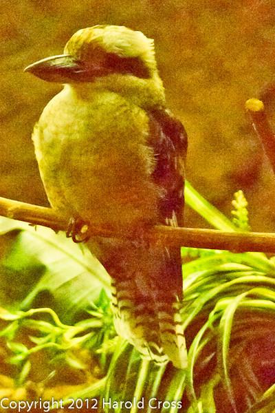 A Kookaburra taken July 19, 2012 in Albuquerque, NM.