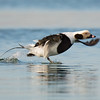 Takeoff of long-tailed duck