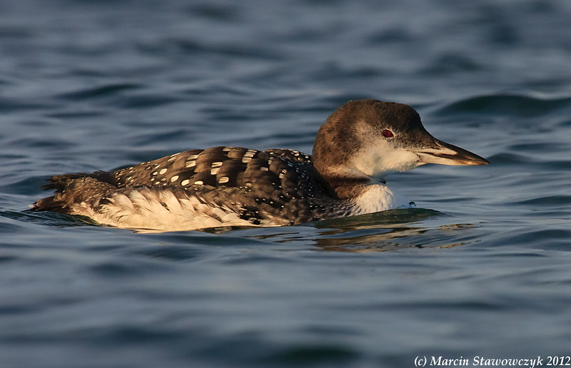 Profile of a common loon