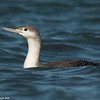 Loon on the waves