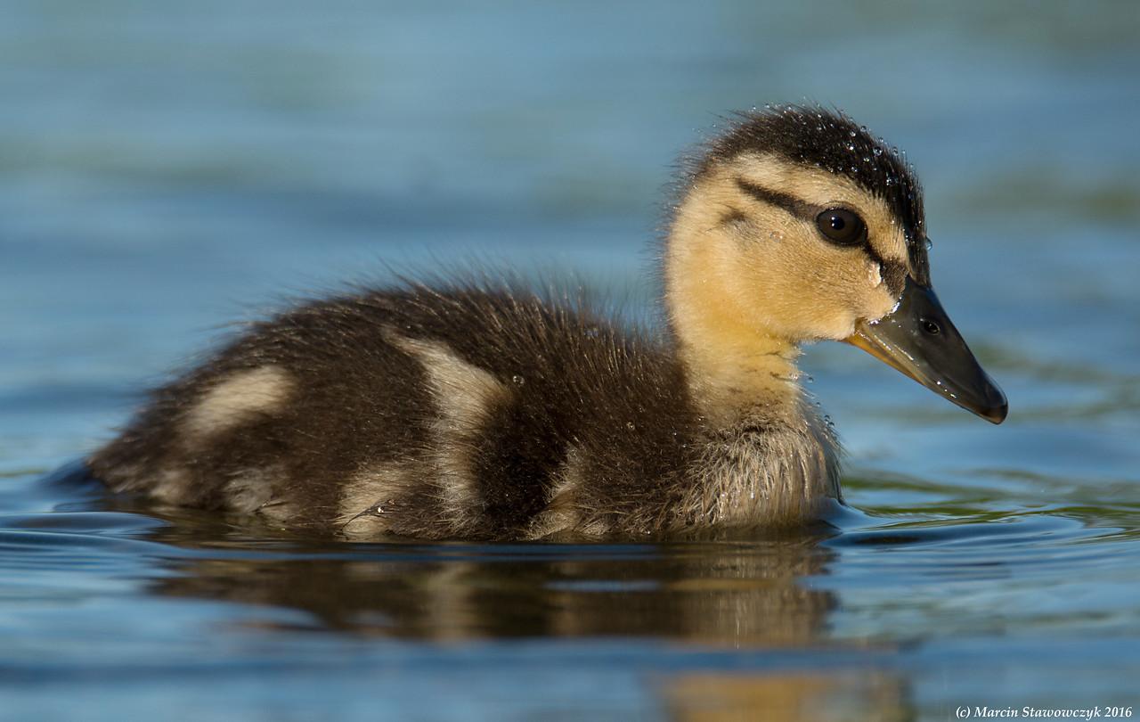 Tiny duckling