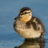 Wet duckling