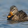 Duck approaching