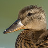 A young duck