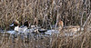 Northern Pintails in the weeds