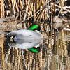A better capture of Falcated Duck Colusa Refuge California 12/23/2011
