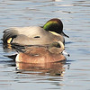 American Widgeon & Falcated Duck Colusa Refuge California 12/24/2011